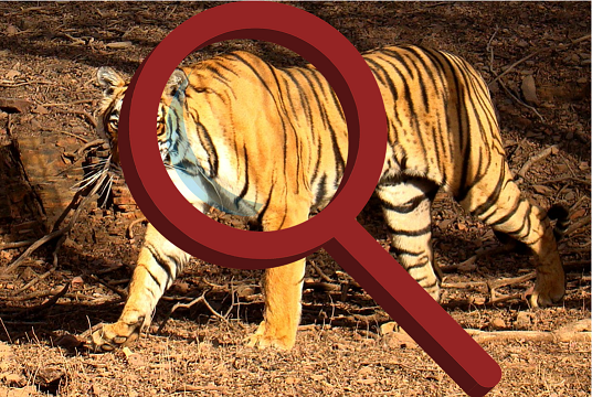 Tiger and magnifier